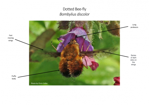 Dotted bee-fly diagram