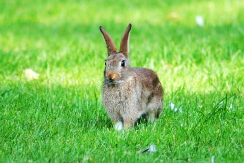 European rabbit by Amy Lewis